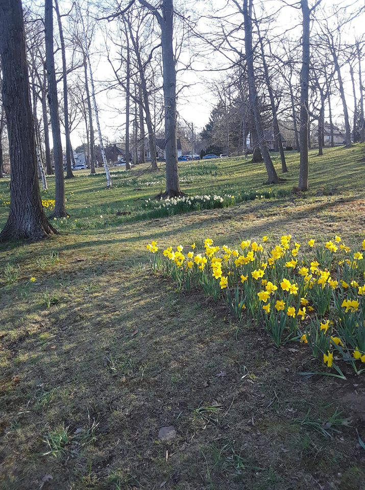 SouthingtonCTDaffodils3